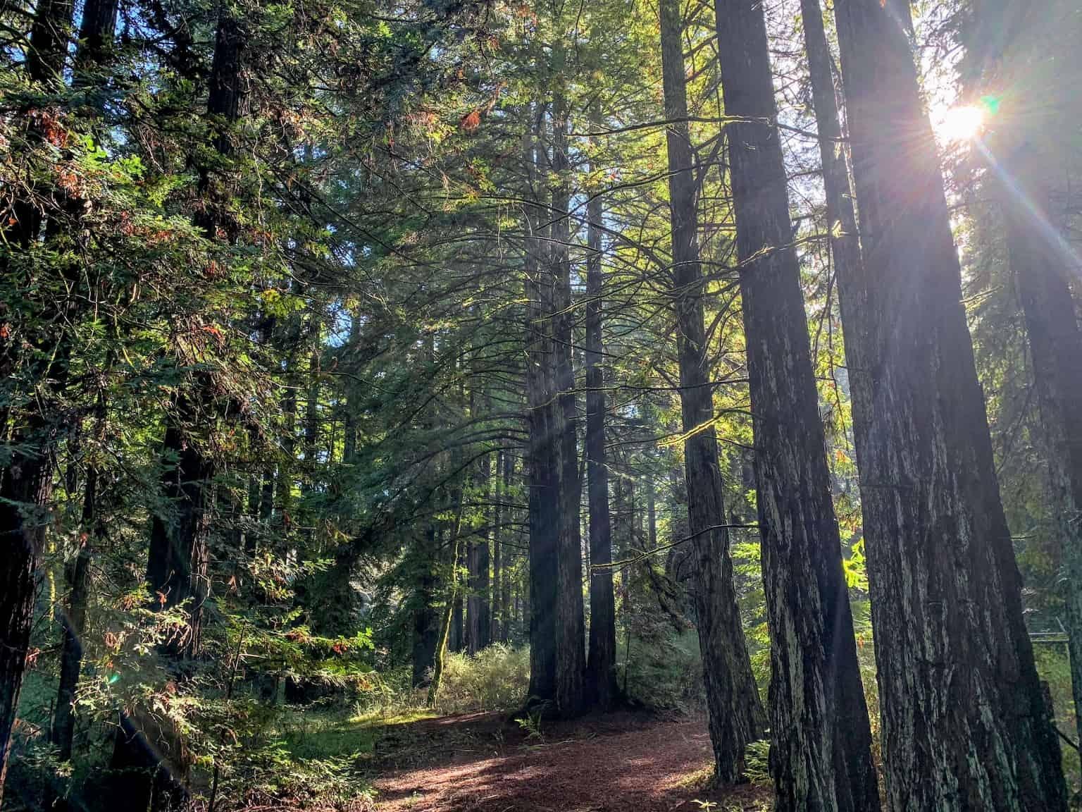 Trees near Big Basin Redwoods State Park
